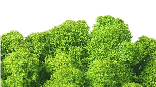 Premium quality moss may green  for Moss-Images and Moss-Walls
