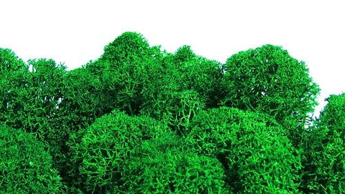 Premium quality moss apple green for Moss-Images and Moss-Walls