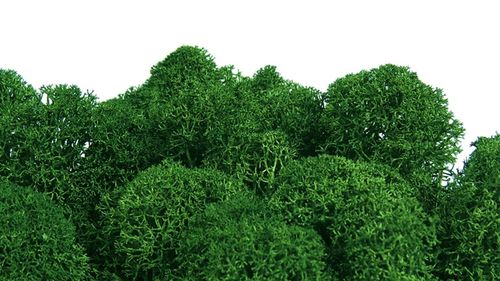 Premium Quality Moss leaf green for Moss-Images and Moss-Walls