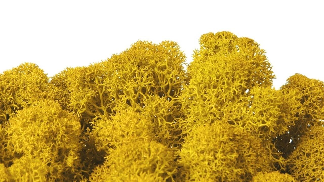 Iceland Moss Yellow 1 KG preserved Sunshine Yellow Mustard Yellow Saffron preserved moss