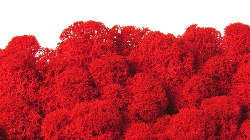 Premium quality moss cherry red for Moss-Images and Moss-Walls